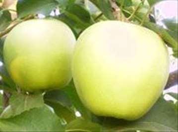 Voćne sadnice jabuke sorte Zlatni Delišes Rainders