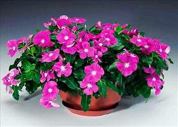 Vinka (Catharanthus roseus)