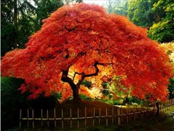 Acer saccharinum tree-Srebrni javor