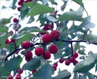 Crvenolisna šljiva-Prunus cerasifera 'Nigra'