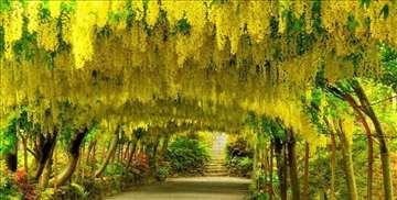 Laburnium-Žuta kiša