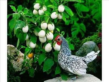 Kinder jaje - Solanum melongena