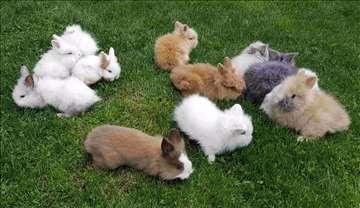 Patuljasti zečići, odlični ljubimci, prelep poklon
