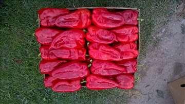 Rasad paprike, sorte kurtovka (ajvaruša)