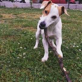 Džek Raselov terijer, odrastao pas