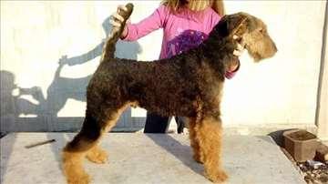 Erdel terijer, štene