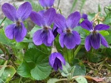 Ljubičica-viola-seme