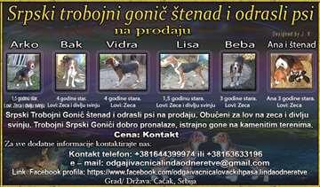 Srpski trobojni gonič, odrastao pas