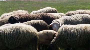 Stado ovaca