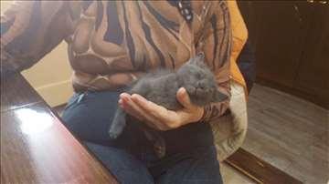Mešanac plave ruske mačke