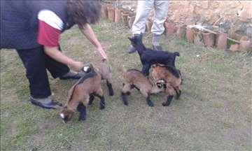 Prodajem umatičene koze i jariće