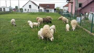 Prodajem ovce jagnjad i umatičenog ovna