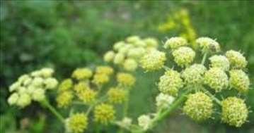 Selen začinska biljka domaće seme