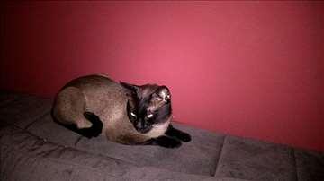 Sijamska, mlada mačka (mačor)
