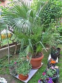 Palma lepeza