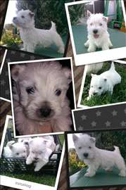 Westy - Zapadnoškotski beli terijer, štene