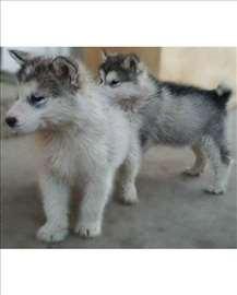 Aljaski malamut, štene