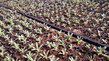 Sadnice - Smilje - Helichrysum italicum KS