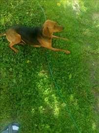 Srpski gonič, odrastao pas