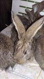 Kunići Belgijskog orijaša