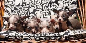 Čivava, štene sa pedigreom pasošem