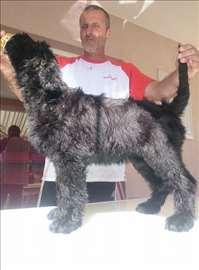 Crni ruski terijer, štenad, vrhunskih papira