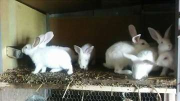 Kunići rase Hajkom
