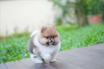 Pomeranski špic boo štenci