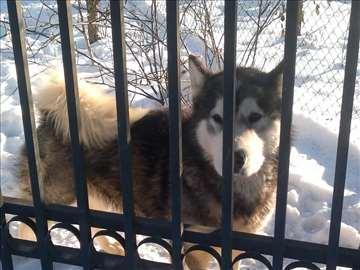 Aljaski malamut, odrastao pas parenje