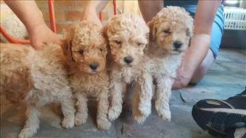 Preslatki štenci pudle, visoko pedigrirani!