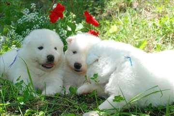 Samojed, štene