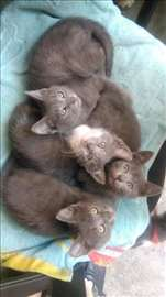 Mix ruske plave mace, mali mačići na poklon