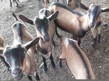 Prodajem koze
