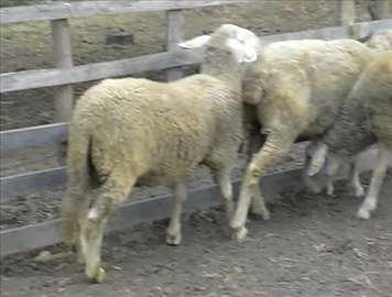 mladi ovnici