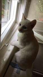 Poklanjam! Bela maca, sa plavim ocima