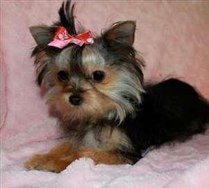 Jorkširski terijer mini ženka štene