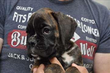 Nemački bokser, štene na prodaju