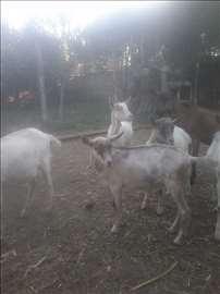 Menjam koze za konja ili ždrebe