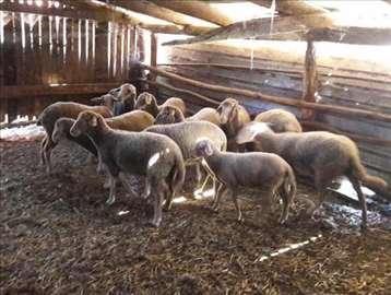 Virtemberg - 9 ovaca i jedan ovan sa pedigreom