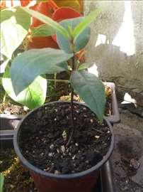 Lovor - Laurus nobilis