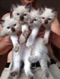 Prekrasan Ragdoll maček