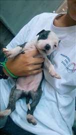 Američki stafordski terijer, štene
