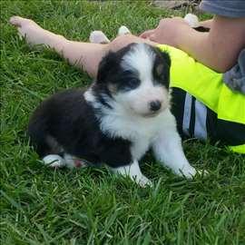 Australijski čuvar stada, štene