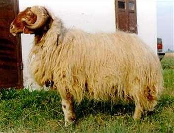 Prodaja ovaca, krava, bikova, teladi