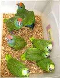 Imiku amazonid, papagoid