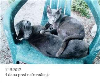 Ruski plavi mačići, prelepi