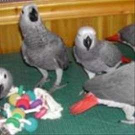 Žako papagaj