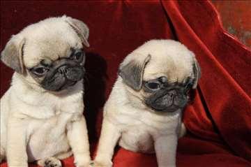 Mops štenci