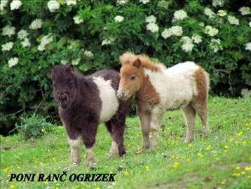 Mini šetlandski poni