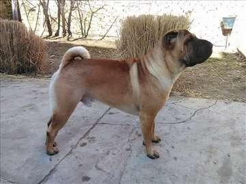 Šar-pej, odrastao pas, mužjak, parenje